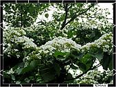 20100422土城三峽桐花:IMG_7383.JPG