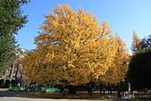 20161201-1206日本東京銀杏+河口湖富士山:IMG_7695.JPG