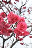 20130202陽明山櫻花:IMG_7719.JPG
