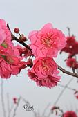 20130202陽明山櫻花:IMG_7828.JPG