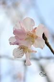 20130214中正紀念堂櫻花:IMG_8370.JPG