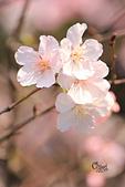 20130224中正紀念堂櫻花:IMG_9523.JPG