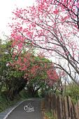 20130202陽明山櫻花:IMG_8035.JPG