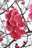 20130202陽明山櫻花:IMG_7720.JPG