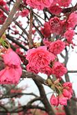 20130202陽明山櫻花:IMG_7723.JPG