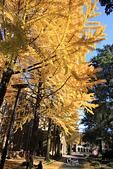 20161201-1206日本東京銀杏+河口湖富士山:IMG_7558.JPG