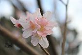 20130214中正紀念堂櫻花:IMG_8372.JPG