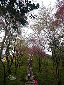 20140203土城太極嶺櫻花:DSCN6938.JPG