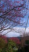 20130202陽明山櫻花:DSC_0388.jpg