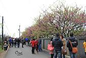 20130202陽明山櫻花:IMG_7855.JPG