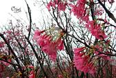 20130202陽明山櫻花:DSCN1896.JPG