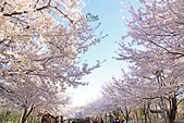 20180330-0410韓國賞櫻(下):IMG_3525.JPG