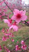 20130203清大櫻花:DSC_0437.jpg