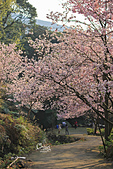 20130309陽明山北投三芝櫻花:IMG_0734.JPG