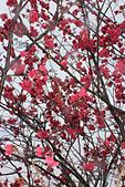 20130202陽明山櫻花:IMG_7725.JPG