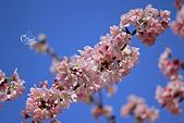 20130228陽明山櫻花:IMG_9623.JPG