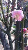 20130202陽明山櫻花:DSC_0400.jpg