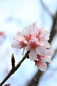20130214中正紀念堂櫻花:IMG_8384.JPG