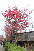 20130202陽明山櫻花:IMG_7859.JPG