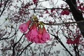20130202陽明山櫻花:DSCN1901.JPG