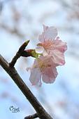 20130214中正紀念堂櫻花:IMG_8386.JPG