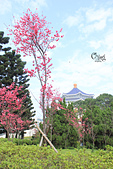 20130214中正紀念堂櫻花:IMG_8112.JPG