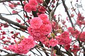 20130202陽明山櫻花:IMG_7729.JPG