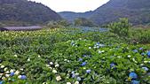 20130526竹子湖繡球花:DSC_0170.jpg