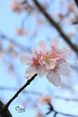 20130214中正紀念堂櫻花:IMG_8393.JPG