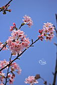 20130309陽明山北投三芝櫻花:IMG_0444.JPG