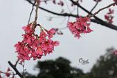 20130202陽明山櫻花:IMG_7607.JPG