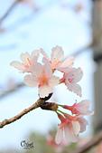 20130214中正紀念堂櫻花:IMG_8399.JPG