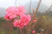 20130202陽明山櫻花:IMG_8058.JPG