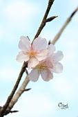 20130214中正紀念堂櫻花:IMG_8400.JPG