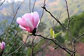 20170219楓樹湖木蘭花:IMG_8702.JPG