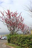 20130202陽明山櫻花:IMG_7736.JPG