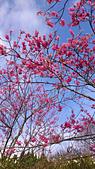 20130202陽明山櫻花:DSC_0423.jpg