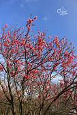 20130202陽明山櫻花:IMG_7956.JPG