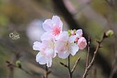 20130224中正紀念堂櫻花:IMG_9487.JPG