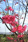 20130202陽明山櫻花:IMG_7739.JPG