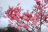 20130202陽明山櫻花:IMG_8064.JPG