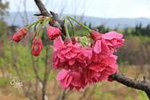 20130202陽明山櫻花:IMG_7741.JPG