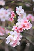 20130224中正紀念堂櫻花:IMG_9491.JPG