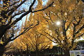20161201-1206日本東京銀杏+河口湖富士山:IMG_7354.JPG