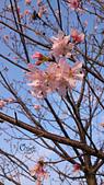 20130214中正紀念堂櫻花:DSC_0470.jpg