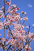 20130228陽明山櫻花:IMG_9654.JPG