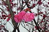20130202陽明山櫻花:DSCN1920.JPG
