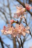 20130214中正紀念堂櫻花:IMG_8427.JPG