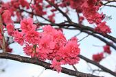 20130202陽明山櫻花:IMG_8066.JPG