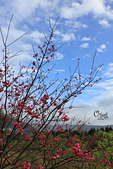 20130202陽明山櫻花:IMG_7747.JPG